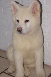 Hyron, chien Akita Inu