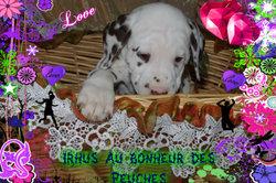 Hyrus, chien Dalmatien