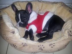 Hysis, chien Bouledogue français