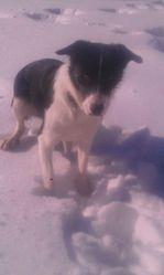 Hyska, chien Border Collie
