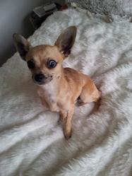 Hyuck, chien Chihuahua