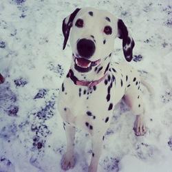 Hyuka, chien Dalmatien