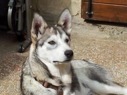 Hyuma, chien Husky sibérien