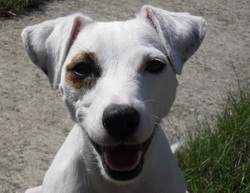 Hyumi, chien Jack Russell Terrier