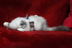 Hyuna De Ragdelight, chat Ragdoll