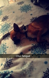 I'Am, chien Chihuahua