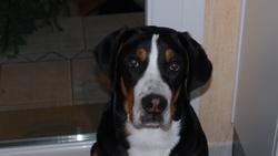 I'Am De Restin Du Clan De Sembel , chien Grand bouvier suisse