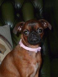 I'Countess, chien Petit brabançon