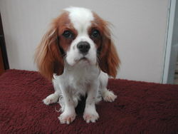 I'Kelly, chien Cavalier King Charles Spaniel