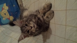 I'Kitty, chat Maine Coon