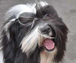 I-Ladakh Lamleh Disel, chien Terrier tibétain