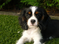 I-Land, chien Cavalier King Charles Spaniel