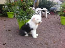 I Love You Baby, chien Bobtail
