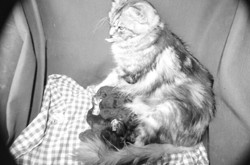 I Love, chat Maine Coon