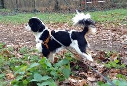 I'M Charlie De Castelburry, chien