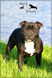 I'M The Black Gold, chien Staffordshire Bull Terrier