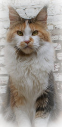 I Made In Heaven Anadavo, chat Maine Coon