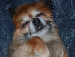 I O D A Junior, chien Chihuahua
