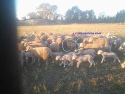I Yldiz Gaidoga Fd4s, chien Berger d'Anatolie