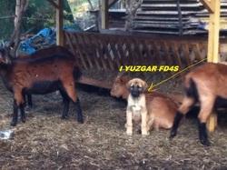 I Yuzgar Gaidoga Fd4s, chien Berger d'Anatolie