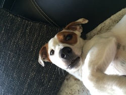 Iacko, chien Jack Russell Terrier