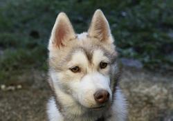 Iagermeister, chien Husky sibérien