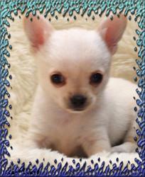 Iago, chien Chihuahua