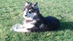 Iiago, chien Chien finnois de Laponie