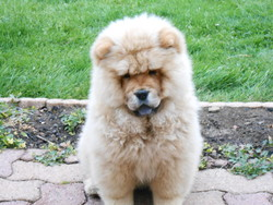 Iago, chien Chow-Chow