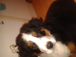 Iago, chien Bouvier bernois