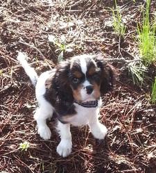 Iago, chien Cavalier King Charles Spaniel