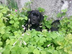 Iago, chien Cane Corso