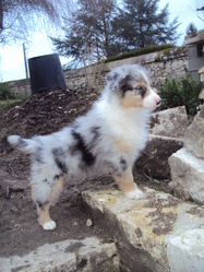 Iago, chien Berger australien