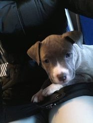 Iona, chien American Staffordshire Terrier