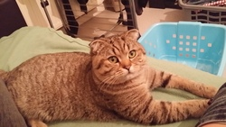 Iago, chat Scottish Fold