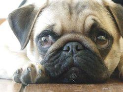 Iago, chien Carlin
