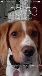 Iago, chien Épagneul breton