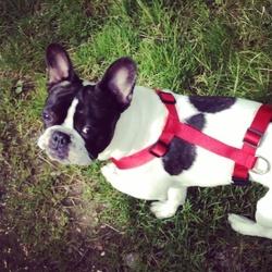 Iago, chien Bouledogue français
