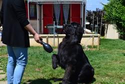 Iago, chien