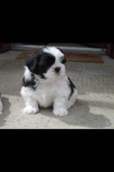 Iago, chien Shih Tzu