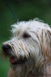 Iago, chien Irish Terrier à poil doux