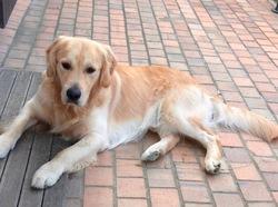 Iago, chien Golden Retriever