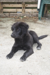 Iago, chien Labrador Retriever