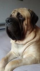 Iago, chien Mastiff