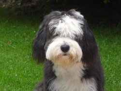 Iago, chien Bearded Collie