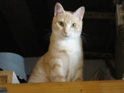 Iago, chat Européen