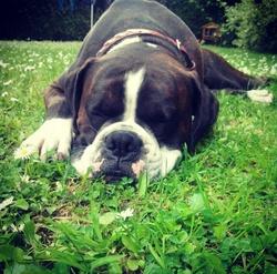 Iron, chien Boxer