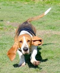 Iaguale Du Cheval Du Marquet, chien Basset artésien normand
