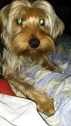 Iako, chien Yorkshire Terrier