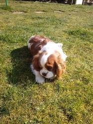 Iako, chien Cavalier King Charles Spaniel